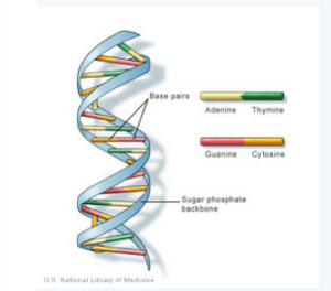 NA has a spiral staircase-like structure. The steps are formed by the nitrogen bases of the nucleotides where adenine pairs with thymine and cytosine with guanine. Photo courtesy U.S. National Library of Medicine